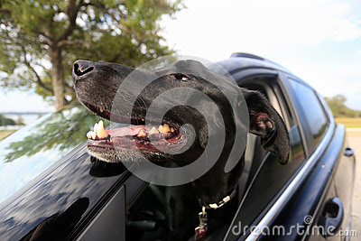Joyous Dog with Head Out Car Window