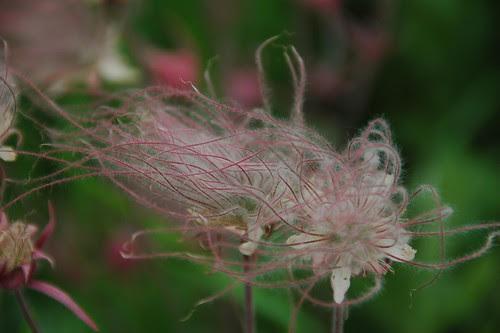 Geum triflorum, Prairie Smoke