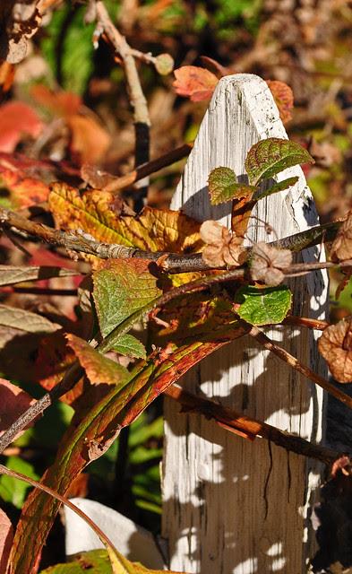 Hydrangea quercifolia (2)
