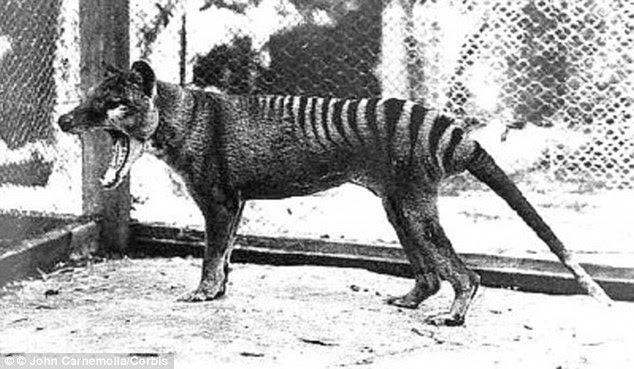 Is it really extinct? :The Thylacine, called the Tasmanian Tiger or Tasmanian Wolf, was a large marsupial that is now almost certainly extinct. The female (pictured) was the last one to be captured and died in the old Hobart Zoo. But there have been a number of reported sightings although none have been proven