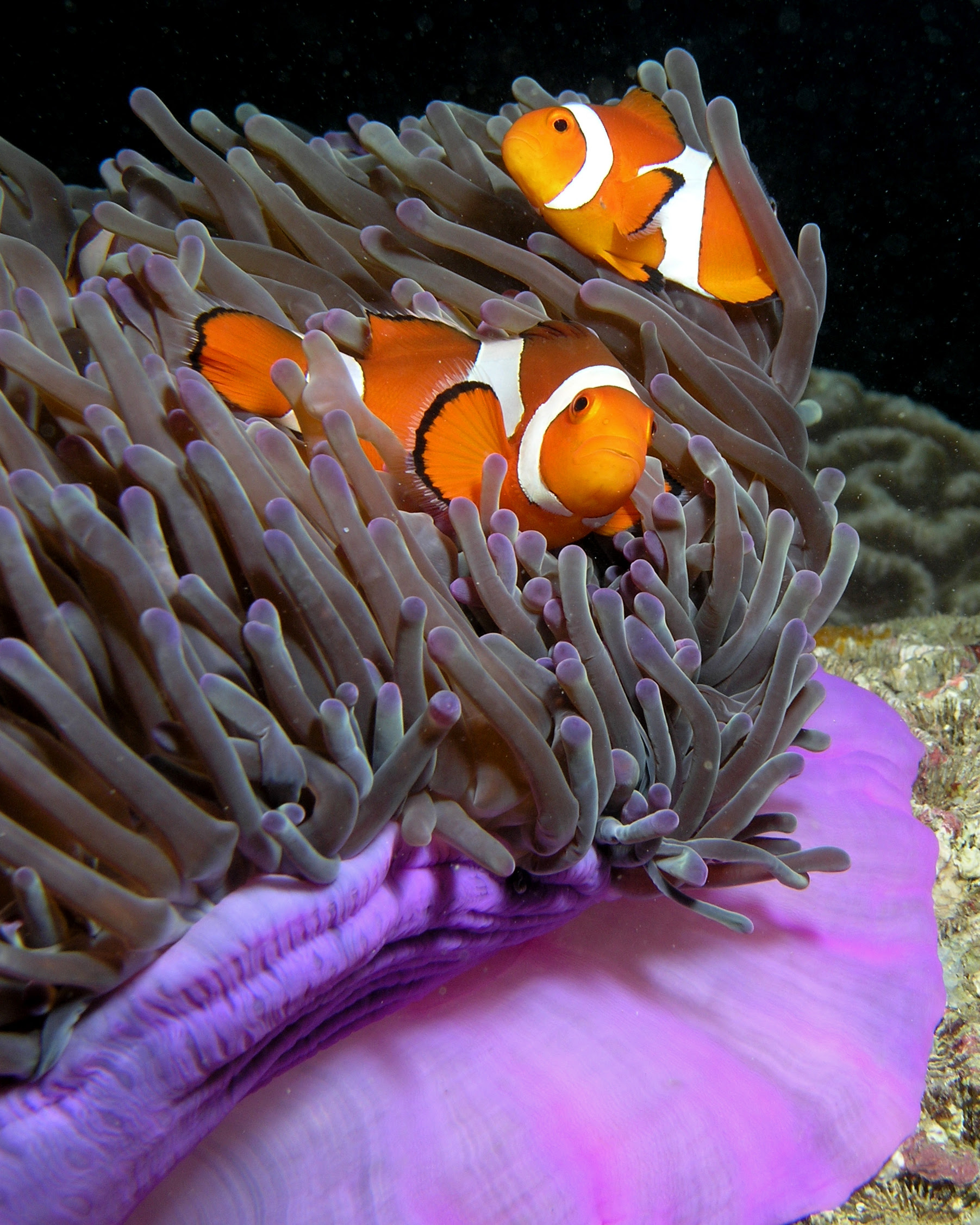 File:Anemone purple anemonefish.jpg