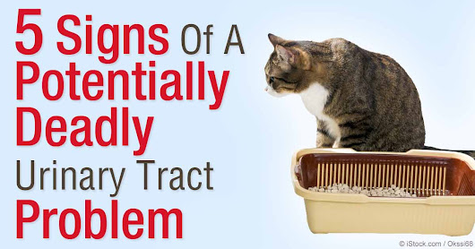 Feline Lower Urinary Tract Disease Signs and Symptoms