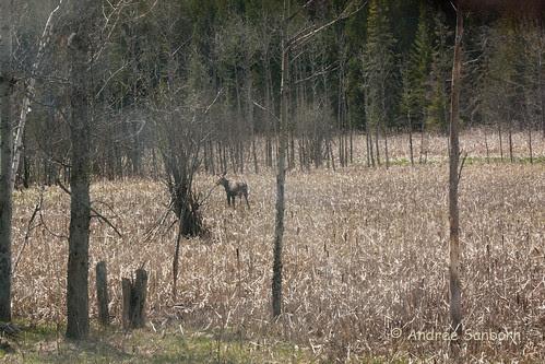 Runaway Pond Moose  -2.jpg
