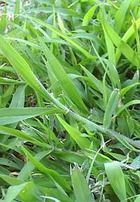 Crab Grass Killer For St Augustine Grass A Difficult Dilemma