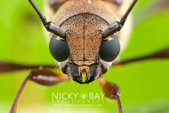 Longhorn Beetle (Cerambycidae) - DSC_7925