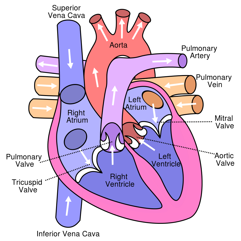 Tips for How to Study the Cardiovascular System