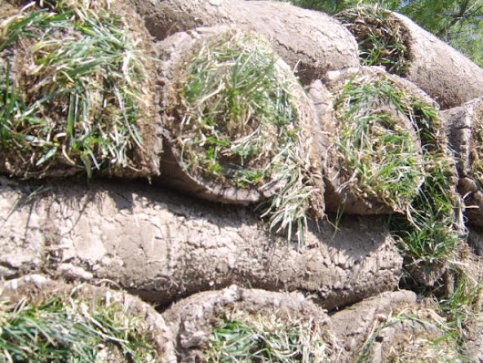 When to plant sod