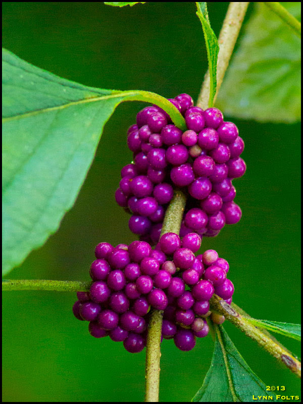 Beauty Berry