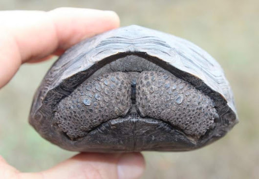 Baby Tortoises Born on Galapagos Island for First Time in 100 Years - The Good News Network