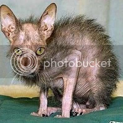 Gambar Kucing Comel Cute Akulah Paling Hensom