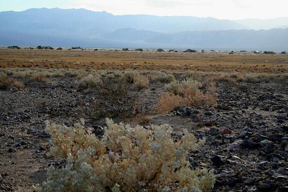 desert-holly.jpg