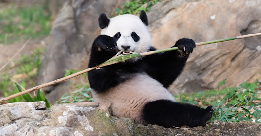 The Life, Times, and Departure of Bao Bao the Panda