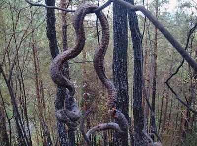 Cobra gigante morre na China com um raio e vira almoço (fotos)