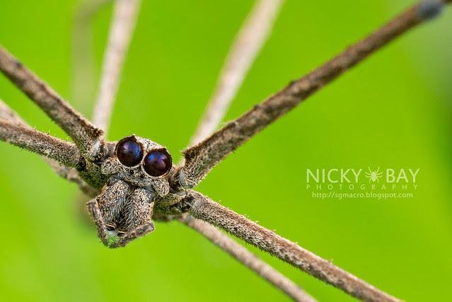 Net-Casting Spider (Deinopis sp.) - DSC_2180