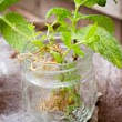 My Bit of Earth: How To Make Mint