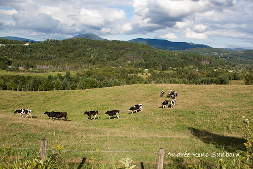 A Herd of Cows in Lyndonville-16.jpg