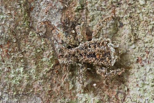 reduvius sp. assassin bug nymph IMG_9906 copy