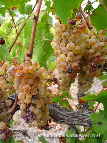 mini seedy grapes on vines