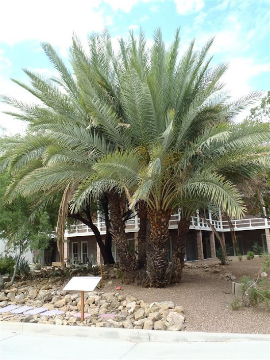 Tree of the Week: Phoenix canariensis - Canary Island Date Palm | Bear Essential News
