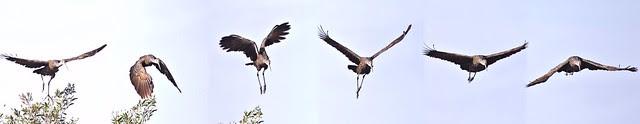 Limpkin flight sequence 20121129