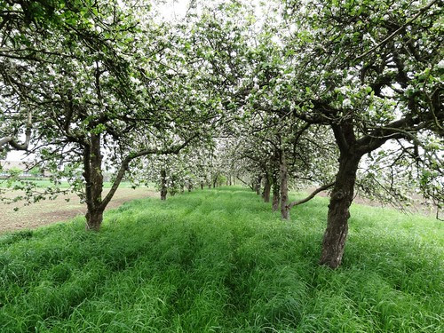 Kolkbrink 2 Apfelblüte