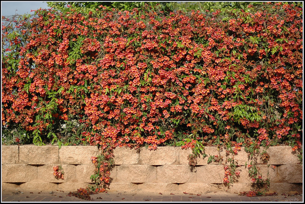 "Bignonia capreolata, Crossvine, ""Tangerine Beauty"" variety. Photo by Eran Finkle"