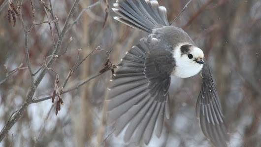 Grey jay may be Canada's favourite, but won't be national bird