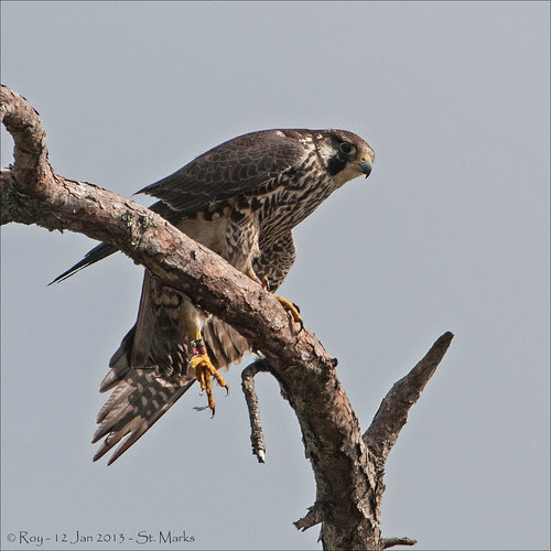Peregrine Falcon - Banded