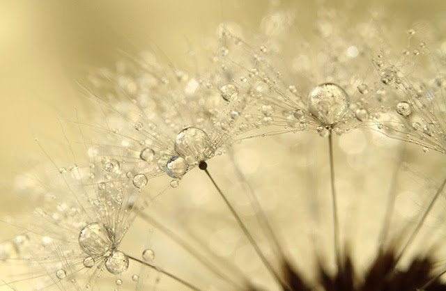 Gorgeous Macro Photographs of Dew Soaked Dandelions by Sharon Johnstone plants macro