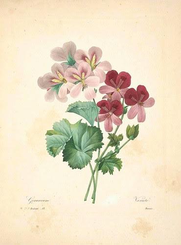 Geranium variete