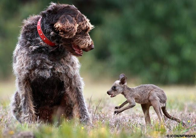 Friendship animals.  Dog and baby kangaroo