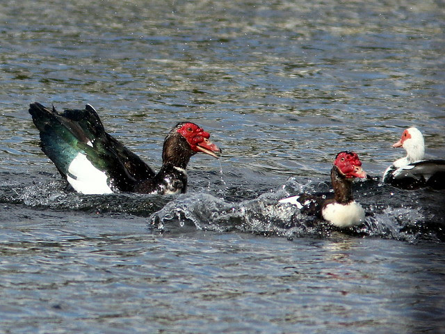 Muscovy lovers triangle 20110216
