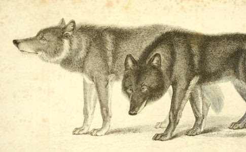 Fatal Wolf Hybrid Attacks - The Archival Record - DogsBite.org