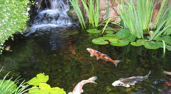 Koi Fish Pond2 600x330