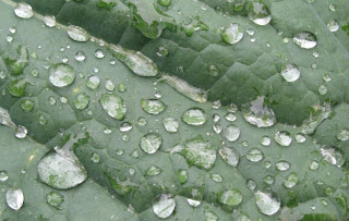 Raindrops on cabbage leaf