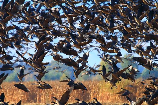 IMG_1986 Aleutian Cackling Geese