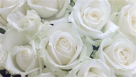 White Roses Background. Beautiful Fresh Stock Footage