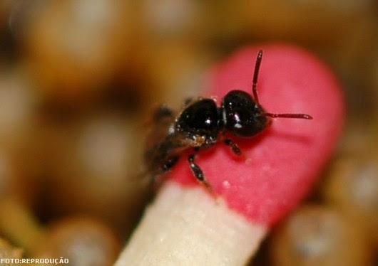 Abelhas sem ferrão - Lambe-olhos (Leurotrigona muelleri)