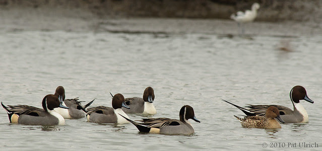 Pintail hen has choice of drakes - Pat Ulrich Wildlife Photography