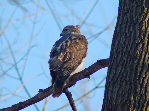 Red-Tailed Hawk Tristan in Central Park North Woods