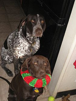 German Shorthaired Pointer Cooperative Dogs