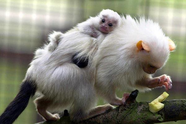 Marmoset - Monyet Terkecil di Dunia