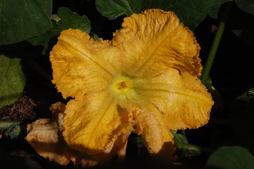 butternut squash flower