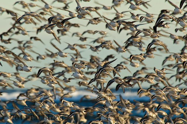 Sandpipers in flight - Pat Ulrich Wildlife Photography