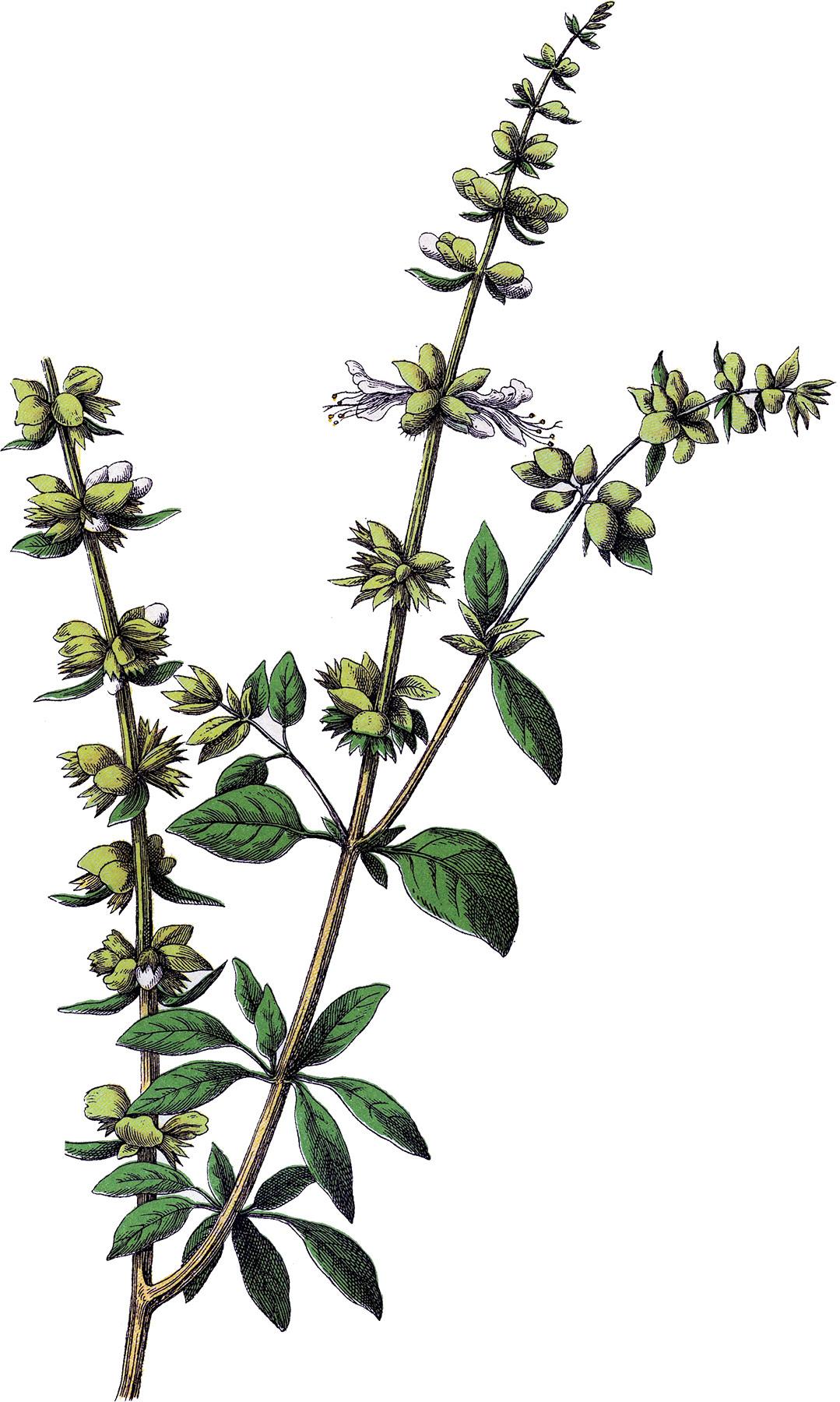 Vintage Basil Herb I