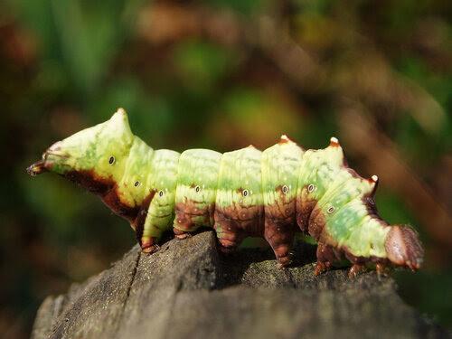 CATERPILLAR القبرية ألدر (Notodonta dromedarius)