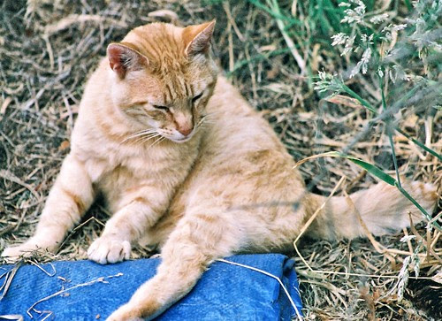 Orange Mid-Tail Feral Cat