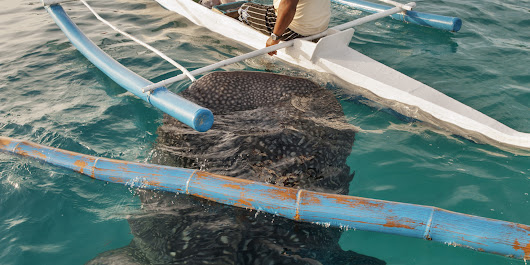 Why You Shouldn't Swim With Baited Whale Sharks in the Philippines