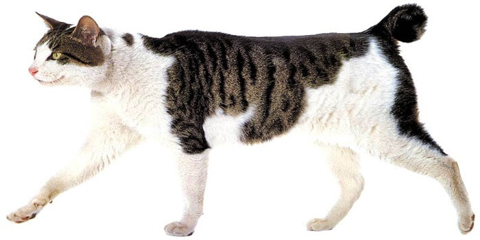 Unduh 67+  Gambar Kucing Persia Kampung Terbaik HD