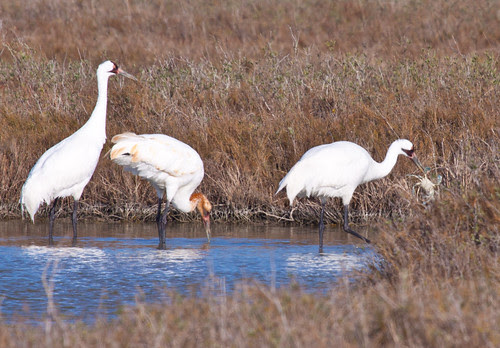 Whooping Crane carrying blue crab to edge of water